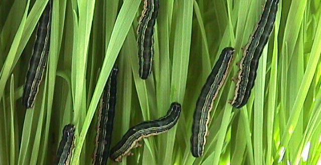 African armyworm