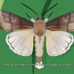 fall armyworm adult laying eggs on a leaf